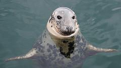 foca DUNVENGAN