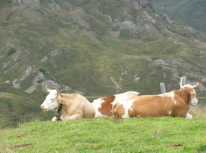 Vaquitas suizas